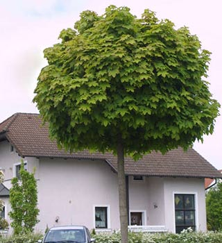 mop-top-trees-7.jpg