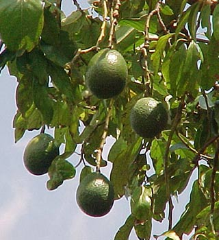 fruit-trees-6.jpg