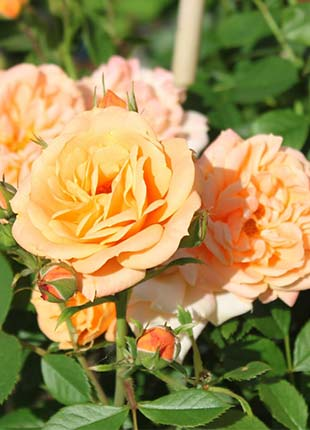 Apricot Clementine Rose