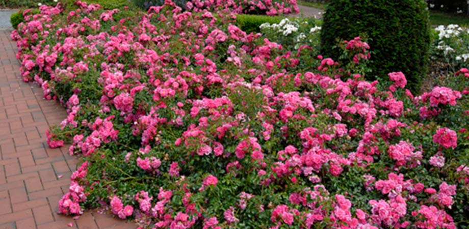 Roses In Garden: Gardenarium :: Ground Cover Roses