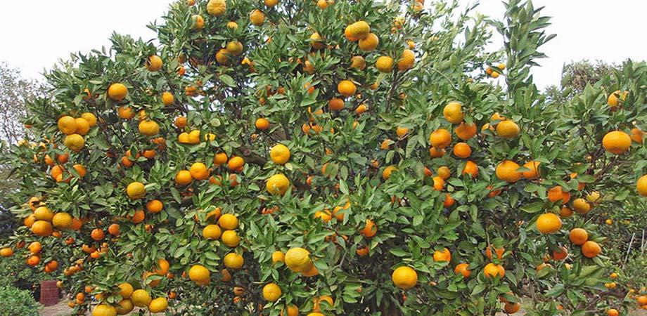Apple Trees Australia
