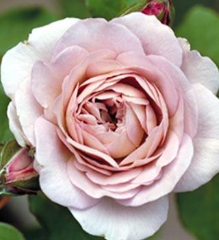 gardenarium generosa modern shrub roses from france