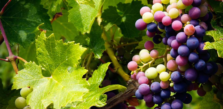 Gardenarium table grapes wine grapes for Table and vine