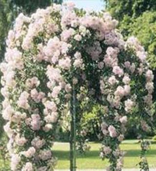 Gardenarium Standard Weeping Roses