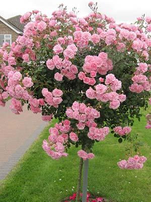 Gardenarium Limestone Coast Roses