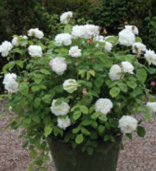 Gardenarium David Austin Bush Roses